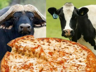 بوفالو و پیتزا